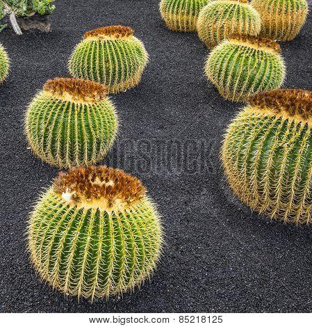 Echinocactus Grusonii, Cactus