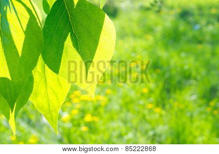 Green poplar leaves on defocused floral background