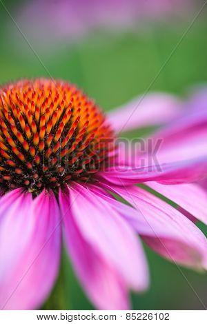 Coneflower Rubinstern Echinacea Purpurea Summer Flower