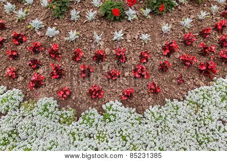 An overhead view of an annual flower bed containing alyssum, fiberous begonias, dusty millar, and geraniums.