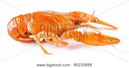 Cooked Crayfish Close-up