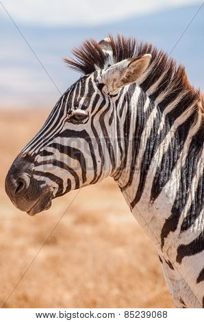 Zebra in Ngorogoro Crater
