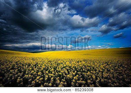 blooming rapeseed field in spring