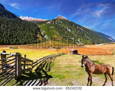 Beautiful farm horse grazing in fenced green meadow. Sunny day in the Austrian Alps