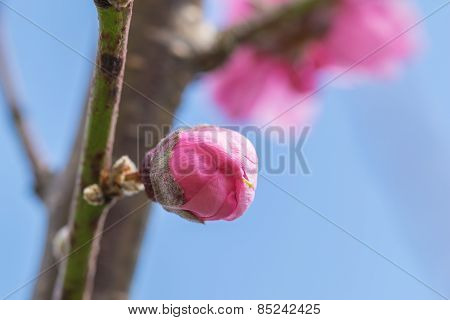 Pink Cherry Blossom Or Sakara (hanami)