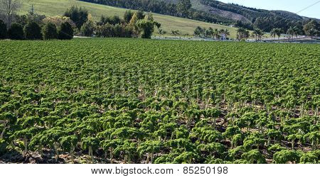 A fiele of kale,  leafy vegetable.
