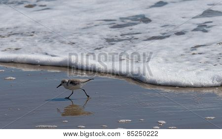 A sandpiper or sanderling running from the tide