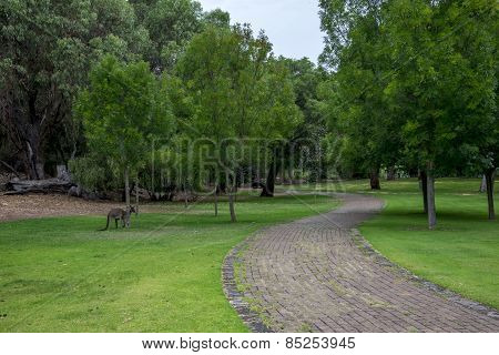 Kangaroo In A Picnic Park And Walking Path Near Loch Mcness Lake In Yanchep National Park