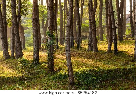 Row Of Tree With Sunlight In The Morning