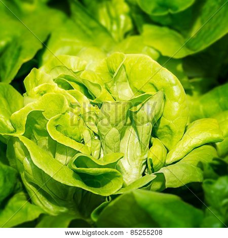 Chinese Cabbage Vegetable