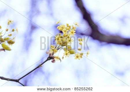 Yellow Spring Branch On Background Of Light Blue Sky