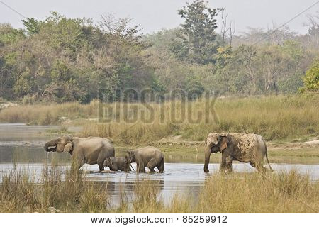 Elephas maximus, asian wild elephants family crossing the river, Bardia, Nepal