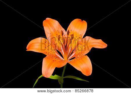 Lily (lilium Pensylvanicum)