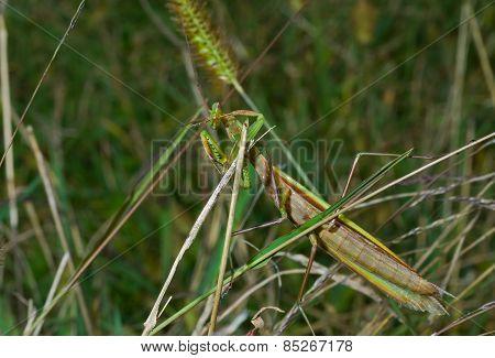 Mantis On Grass