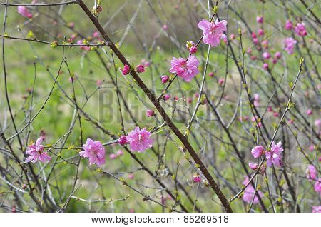 Blooming Cherry-tree