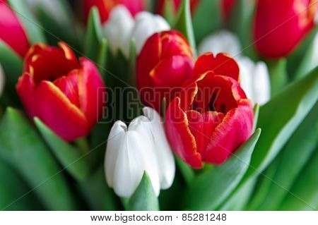 Tulips For Background