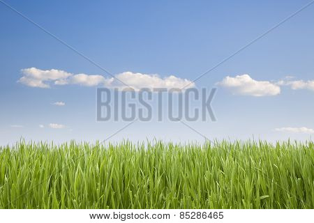Uncut grass under a clear sky