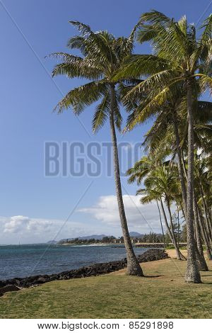 Coconut Palm Tree On The Sandy Beach In Kapaa Hawaii, Kauai