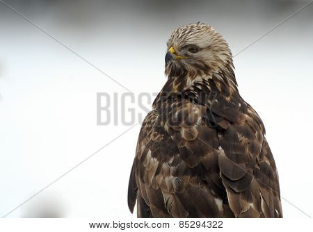 Rough-legged Buzard (buteo Lagopus)