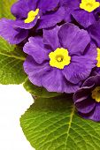image of primrose  - purple spring primroses on a white background - JPG