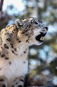 stock photo of panthera uncia  - Snow Leopard  - JPG
