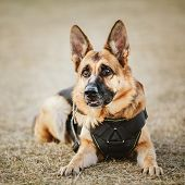 stock photo of hound dog  - Brown German Shepherd Dog Sitting On Ground - JPG
