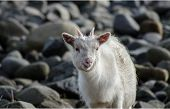foto of billy goat  - Wild goat on the coast at Carsaig on Mull - JPG