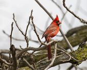 stock photo of walnut-tree  - A male Northern Cardinal perched in a old walnut tree - JPG