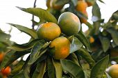 image of tangerine-tree  - Tangerine on tree branch - JPG