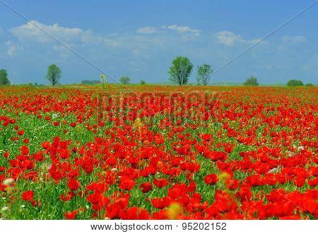 The Papaverous Field