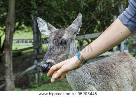 Whitetail famele deer hatchery
