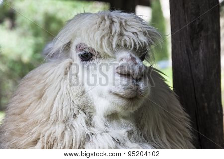 Alpaca Head, Ready To Shear