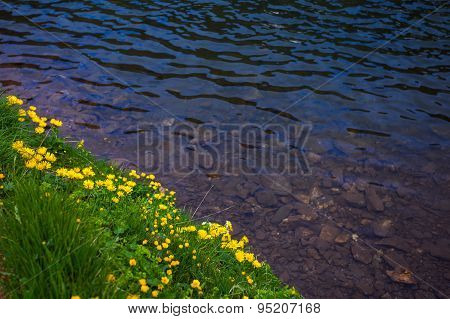 Dandelion Flowers On A Shore Of A Lake With Clear Water