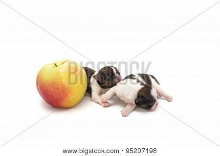 Two Little Shih Tzu With Apple Are Playing