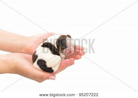 Little Shih Tzu Dog Pup Sleeping At The Human Hands