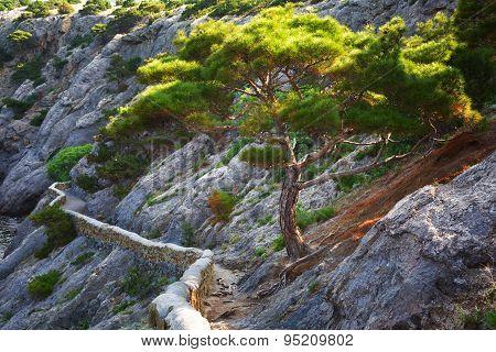 Pinus Stankewiczii Growing On The Rock Near A Track Of Golitsyn On The Cape Kapchik, The Crimea