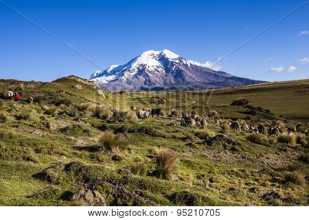Chimborazo Volcano And Sheep