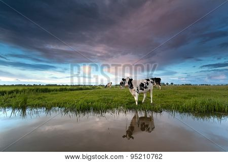 Cow On Pasture By River