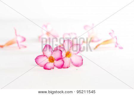 Tropical Flower Pink Adenium Or Desert Rose On White Background