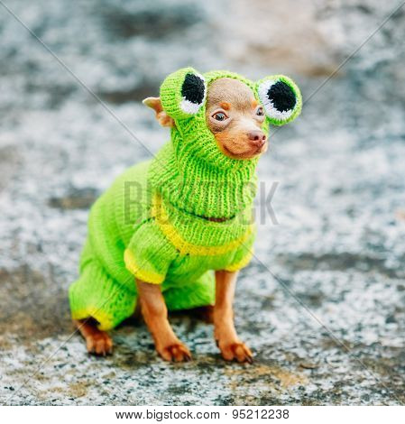 Beautiful Tiny Chihuahua Dog Dressed Up In Frog Outfit, Staying