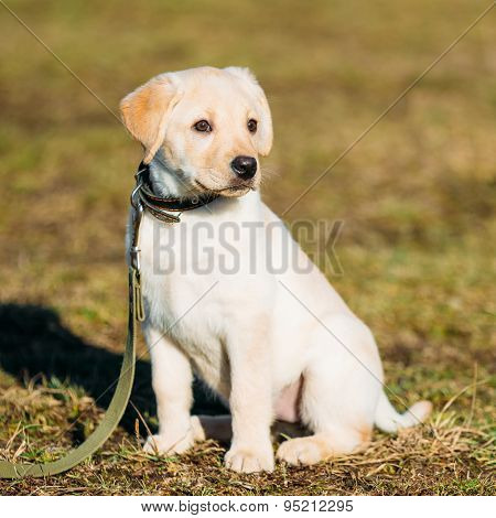 Beautiful White Dog Lab Labrador Retriever Pup Puppy Whelp