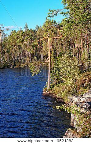 Pine Forest On Rocky Coast