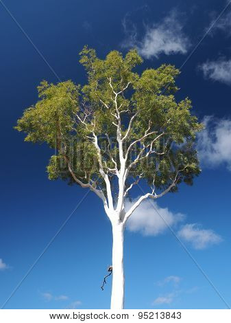White Gum Tree on deep