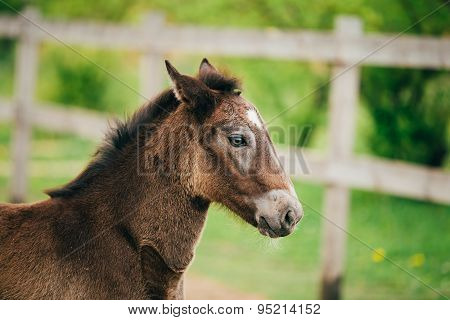 Close Up Portrait Of Brown Foal Horse