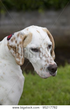 English Pointer Gundog Sitting