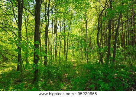 Green Deciduous Forest Summer Nature. Sunny Trees And Green Gras