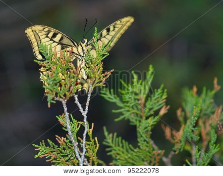 Evening Butterfly On A Branch Of A Coniferous Tree