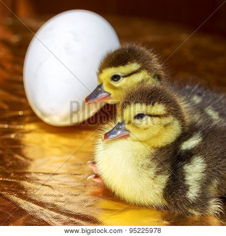 Cute Little Yellow Goslings, Selective Soft Focus