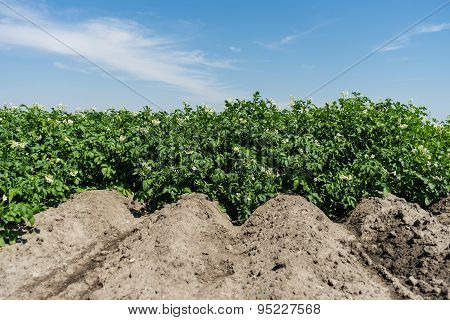 Potato Field In Bloom