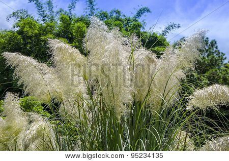 Ornamental grass. Pampas grass.